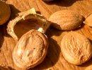 semi di albicocca