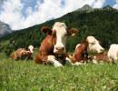 mucche montagne